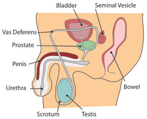 The human reproductive system diagram of male reproductive system ccuart Choice Image